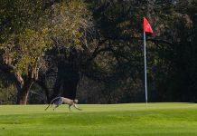 At Hans Merensky vervet monkeys roam the golf course